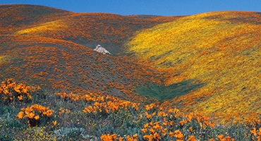 Antelope Valley Poppy Reserve Photo