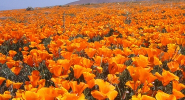 2019 Super Bloom - Plentiful Poppies Photo
